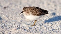 Playerito Menor (Calidris minutilla)