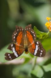 Princesa Roja (Anartia amathea)