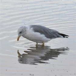 Gaviota Californiana (Larus californicus)