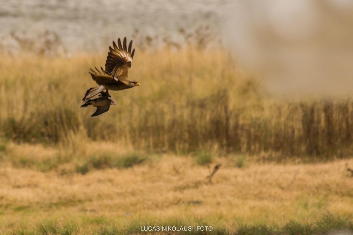 Chimango cazando - Lucas Nikolaus
