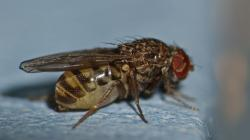 (Drosophila repleta)