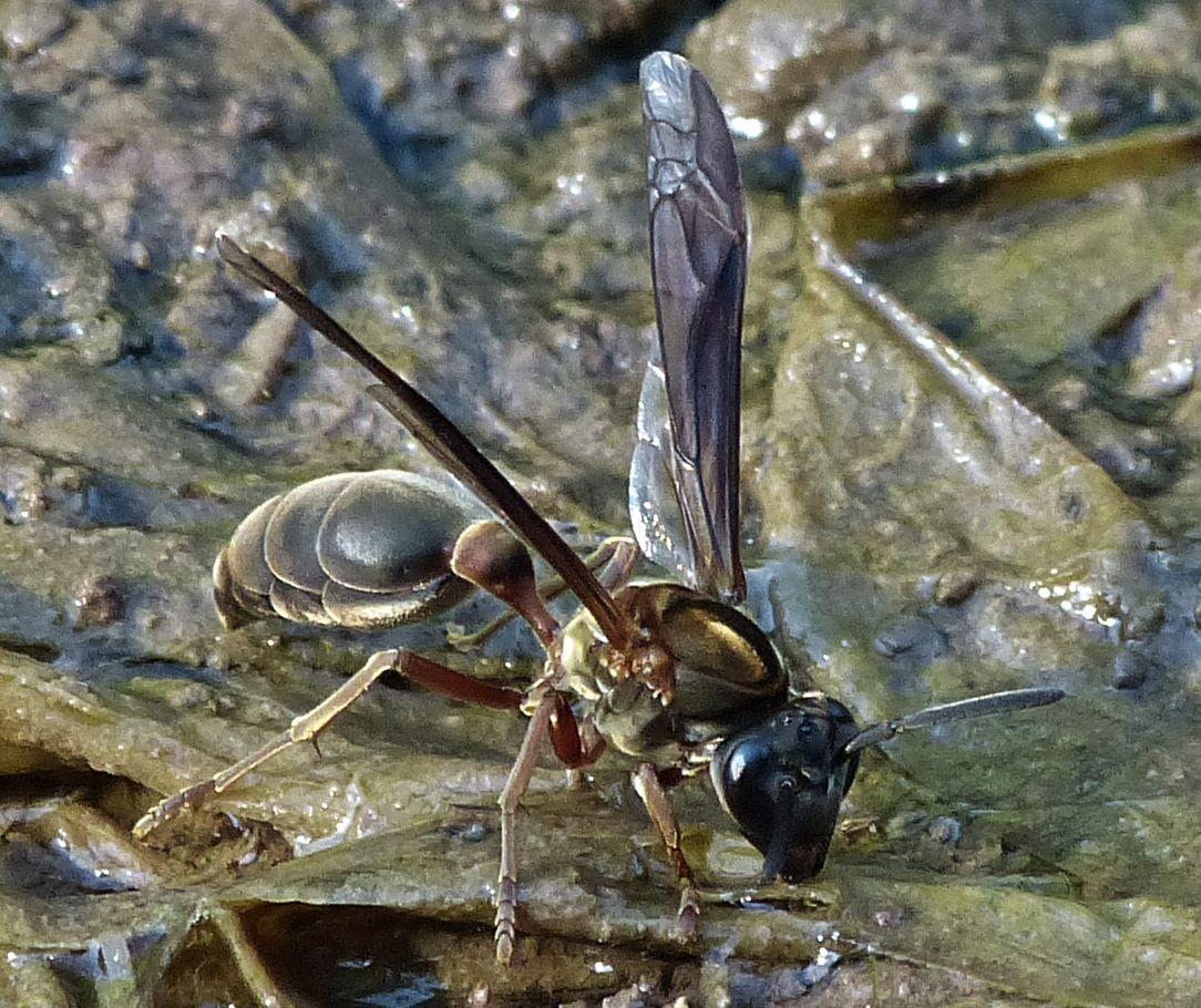 Bộ sưu tập côn trùng 2 - Page 15 P2440798Polybia-sericea