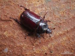 (Strategus sp.)