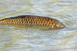 Carpa europea cyprinus carpio ecoregistros for Carpa europea
