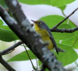 (Cardellina canadensis)