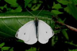 (Pieris rapae)