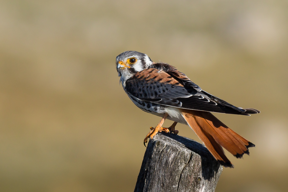 Halconcito Colorado (Falco sparverius)