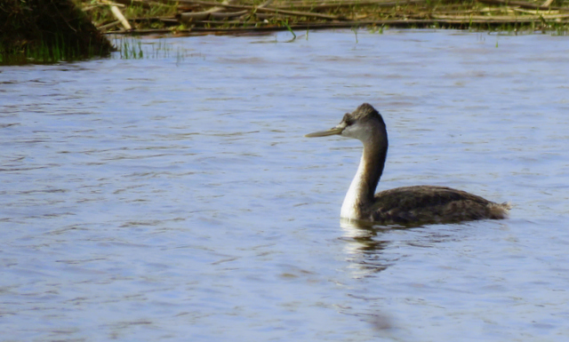 Macá Grande (Podiceps major)