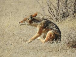 Chacal (Canis adustus)
