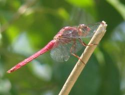 (Orthemis discolor)