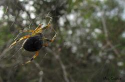 (Araneus workmani)