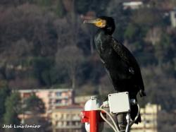 Cormorán Grande (Phalacrocorax carbo)