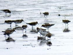 Playerito Blanco (Calidris alba)