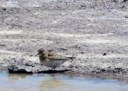 Playerito Unicolor (Calidris bairdii)