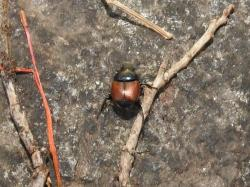 (Canthon sp.)