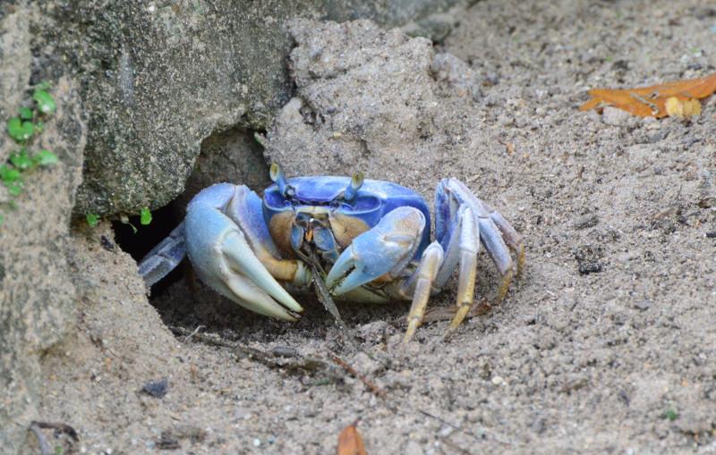 Resultado de imagen para cangrejo azul