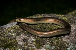 (Ophiodes fragilis)