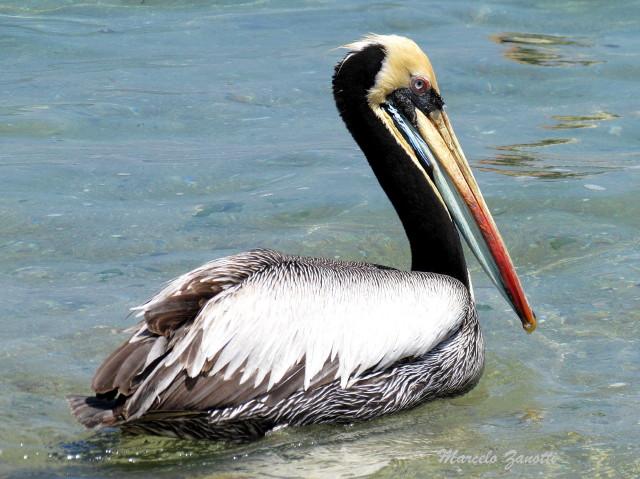 Pel cano peruano pelecanus thagus ecoregistros - Fotos de pelicanos ...