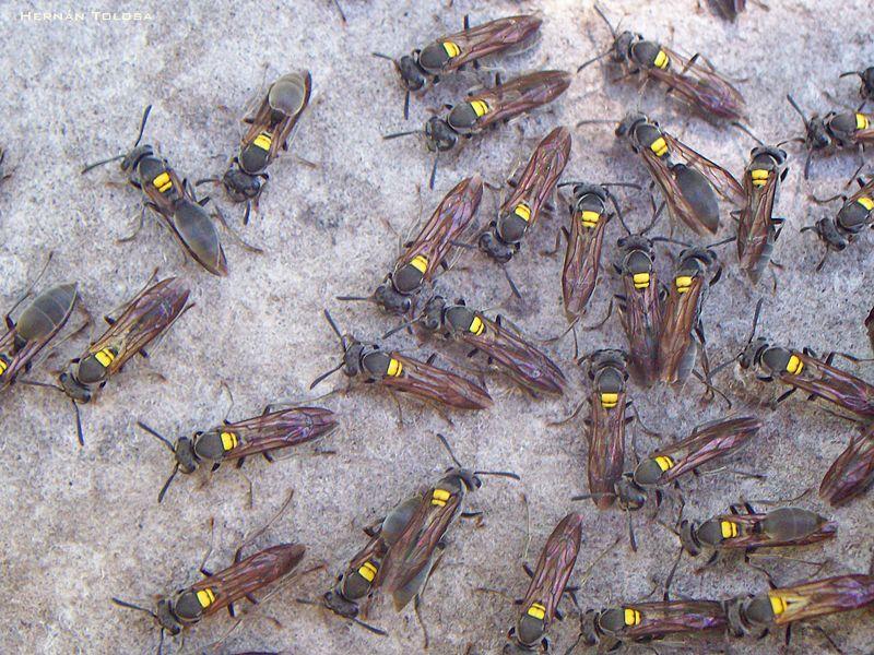 Polybia scutellaris -Camoatí | Abejas, hormigas, avispas del Neotrópico