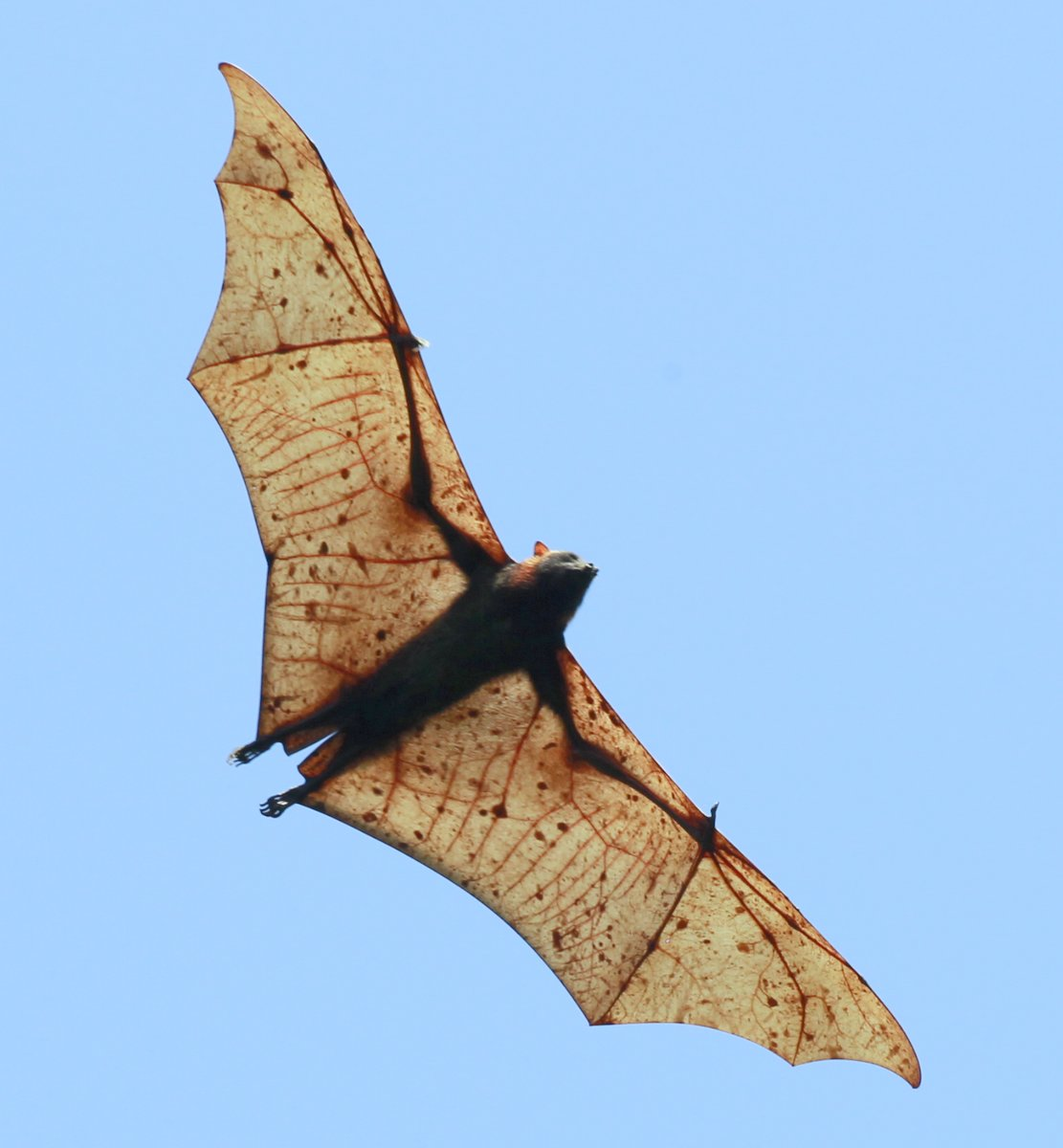 ... Fox Related Keywords & Suggestions - Giant Golden-crowned Flying Fox