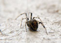 (Parasteatoda tepidariorum)