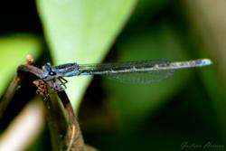 (Acanthagrion hildegarda)