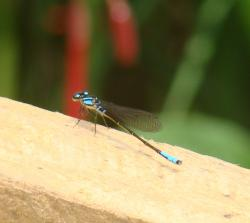 (Mesamphiagrion laterale)