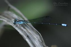(Aeolagrion inca)