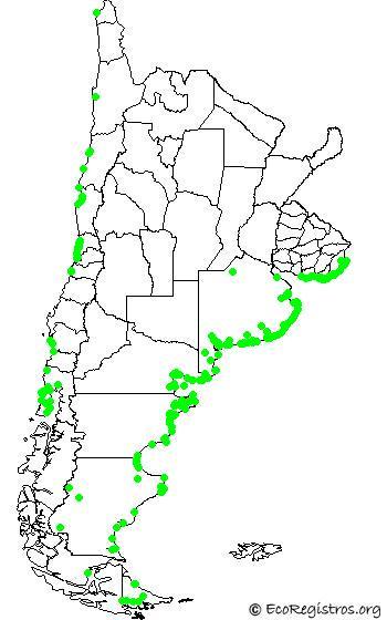 mapaespeciebyid - OSTRERO COMÚN (Haematopus palliatus)